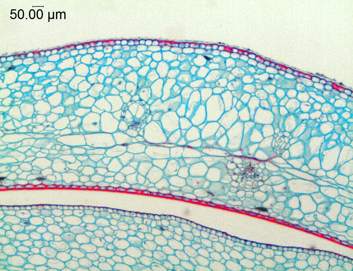 Aloe vera (Asphodelaceae) image 46510 at PhytoImages.siu.edu