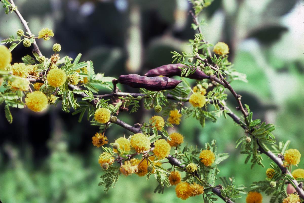 Fabaceae Vachellia farnesiana