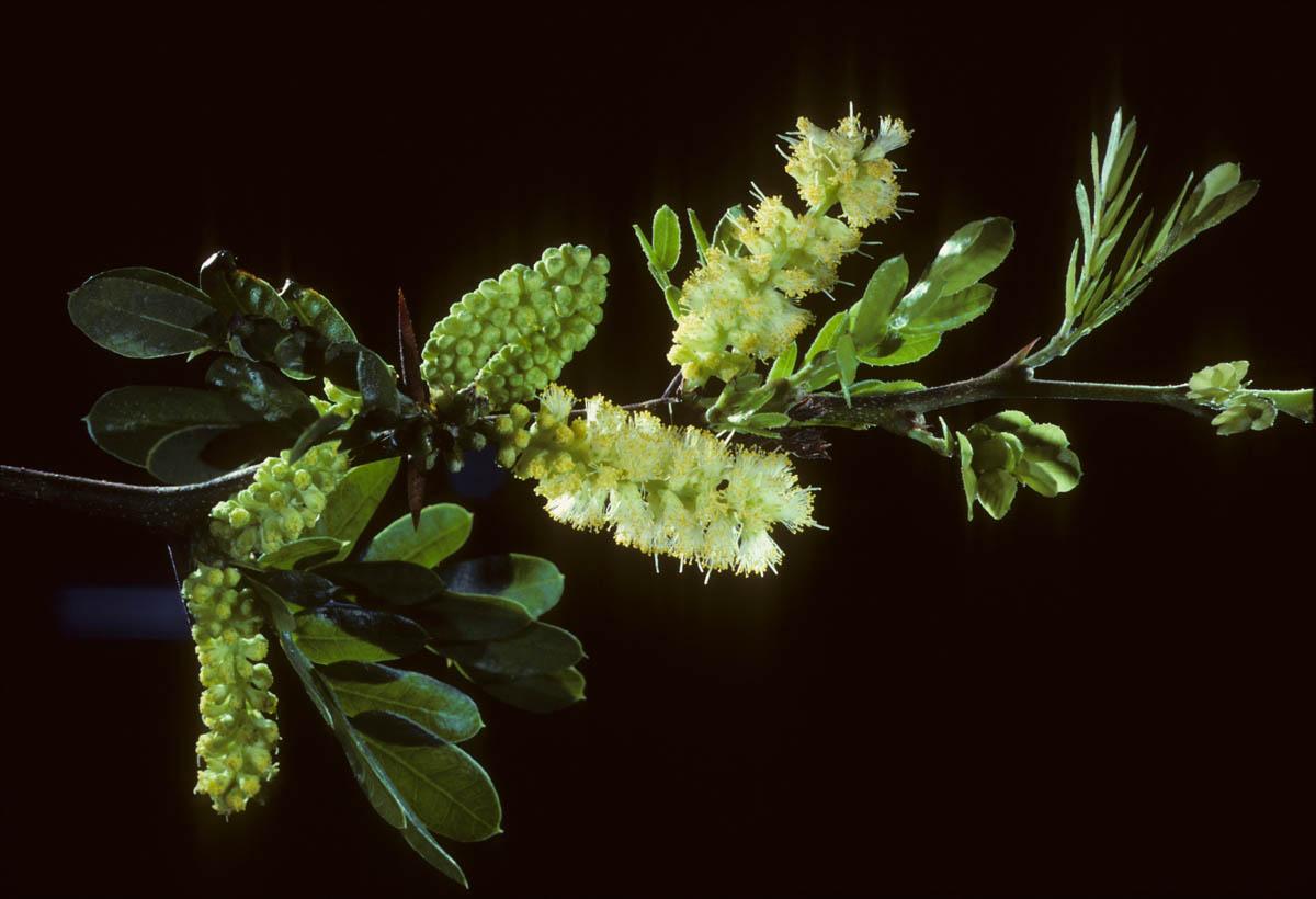 Acacia Rigidula Fabaceae Image 6381 At Phytoimagessiuedu