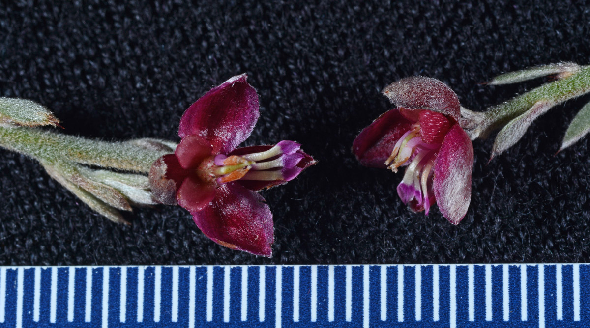 Krameriaceae Krameria Ixine