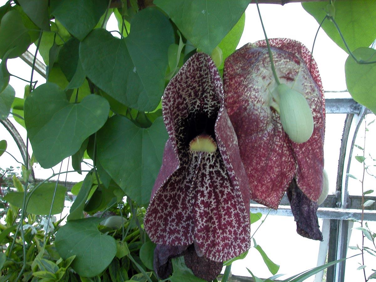 Aristolochiaceae Aristolochia gigantea