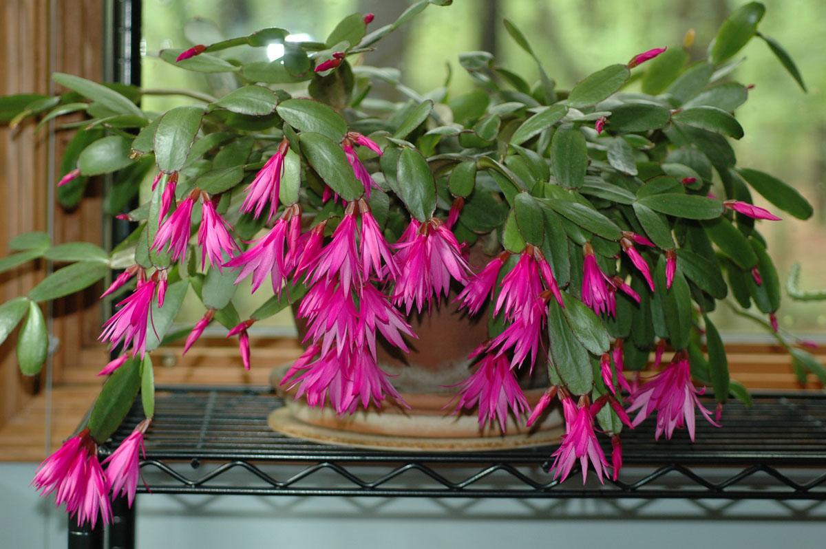 Cactaceae Hatiora gaertneri