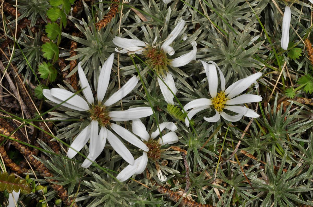 Celmisia sessiliflora (Asteraceae) image 53049 at