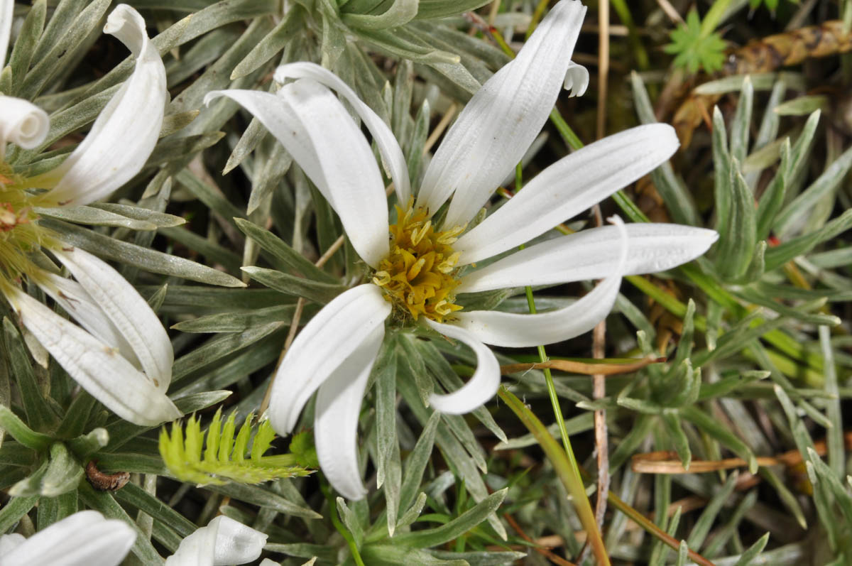 Celmisia sessiliflora (Asteraceae) image 53001 at