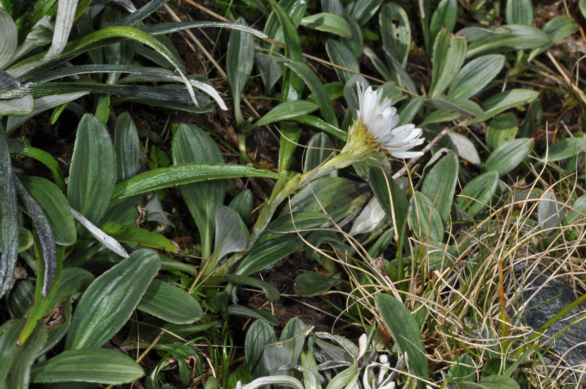 Celmisia sessiliflora • New Zealand Plant Conservation Network