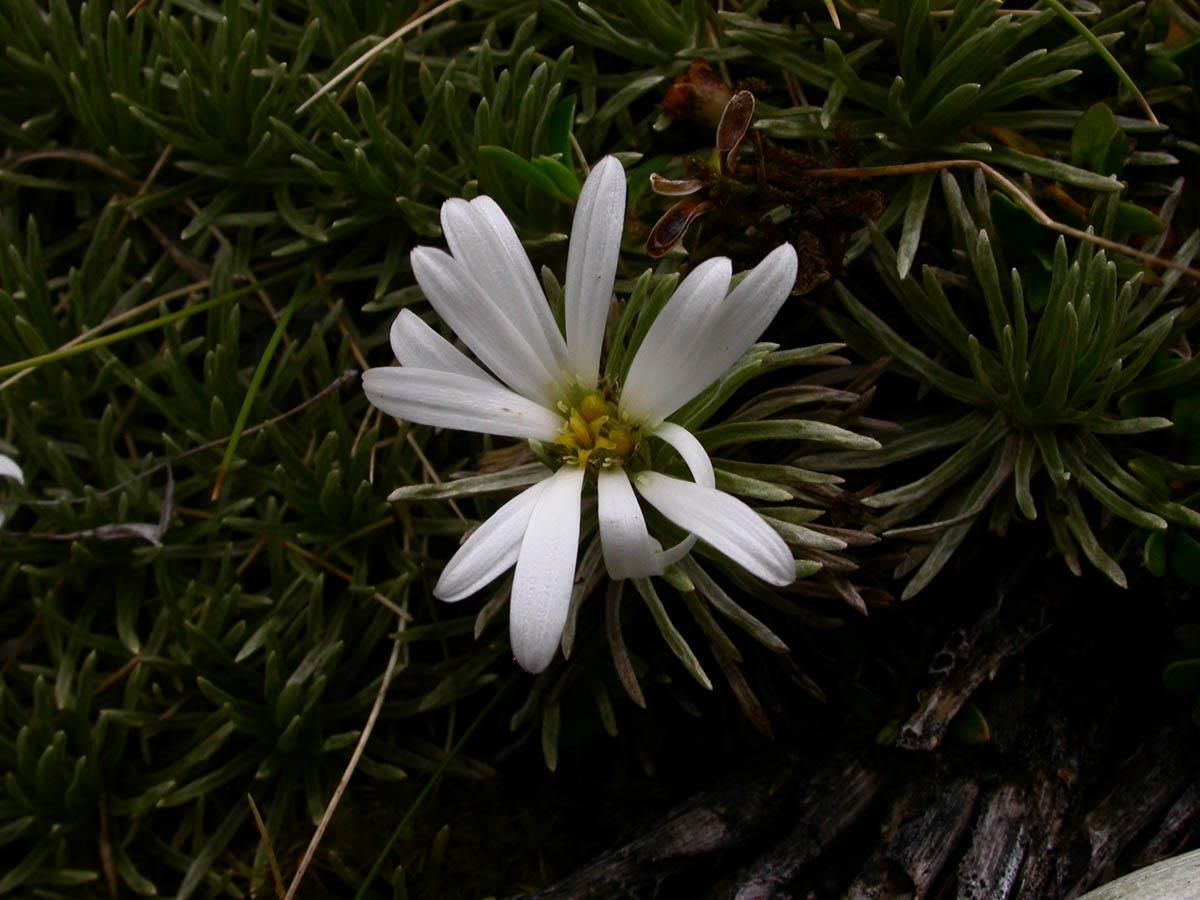 Celmisia sessiliflora (Asteraceae) image 42022 at
