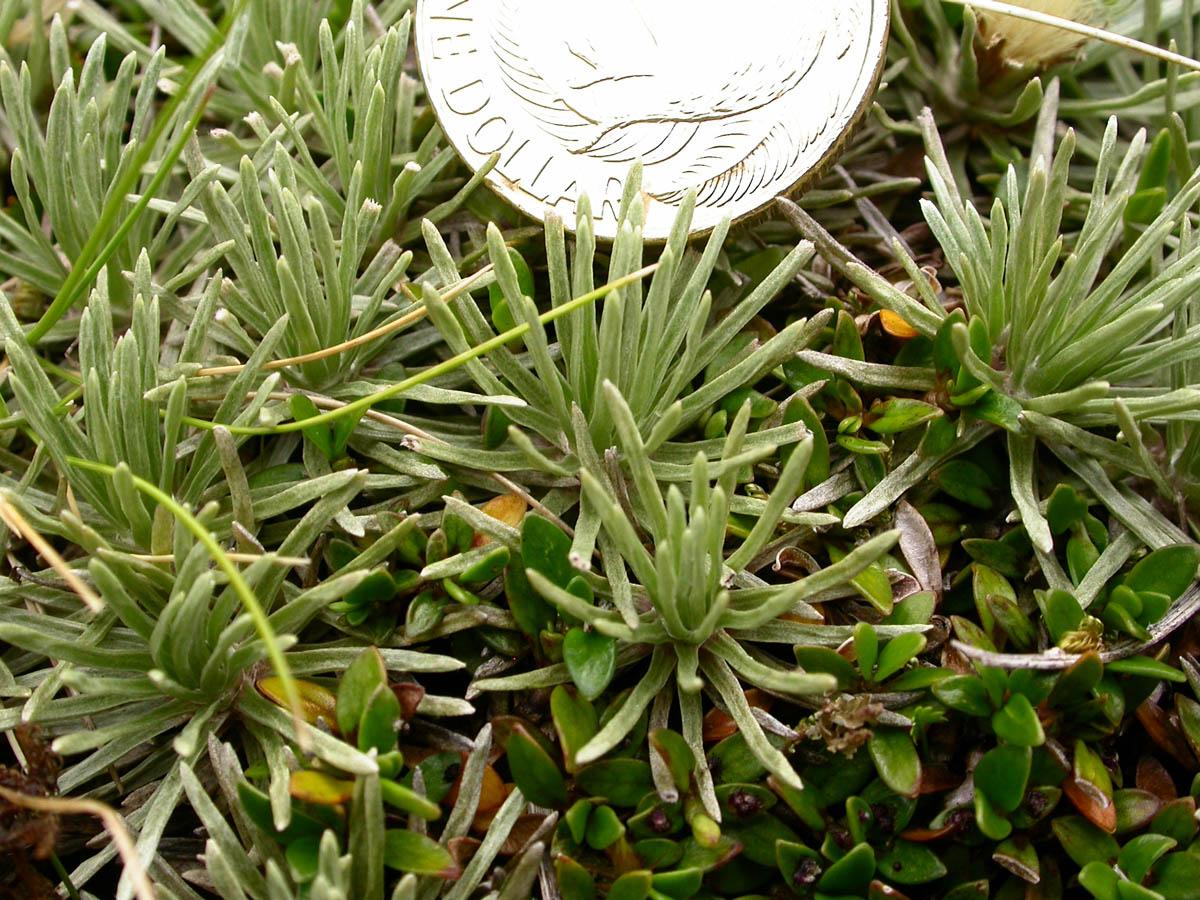 Celmisia sessiliflora (Asteraceae) image 52988 at