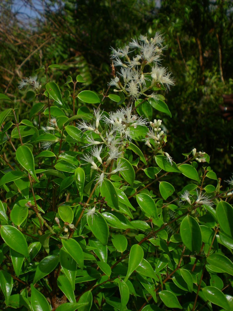 http://www.phytoimages.siu.edu/users/pelserpb/3_29_14/30Mar14/DSCN0470.jpg