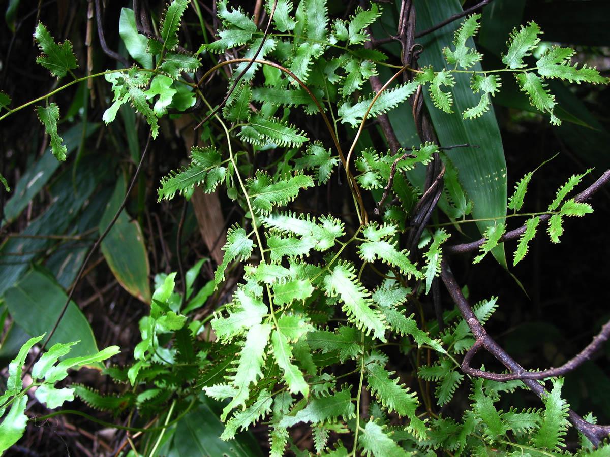 Lygodium Flexuosum
