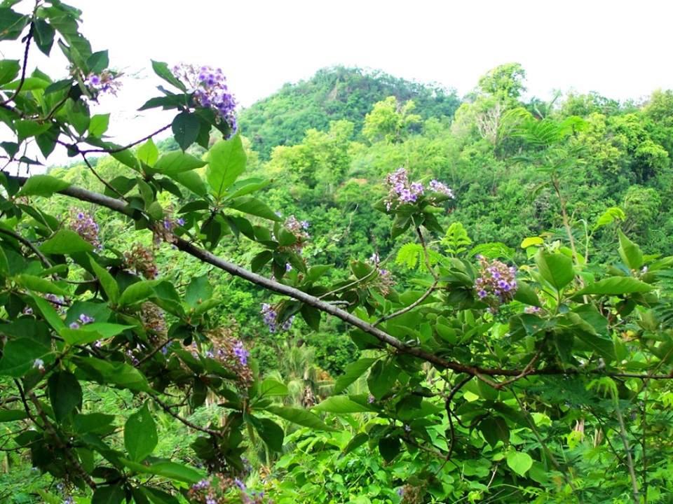 Lamiaceae Tectona philippinensis | Phytoimages.siu.edu