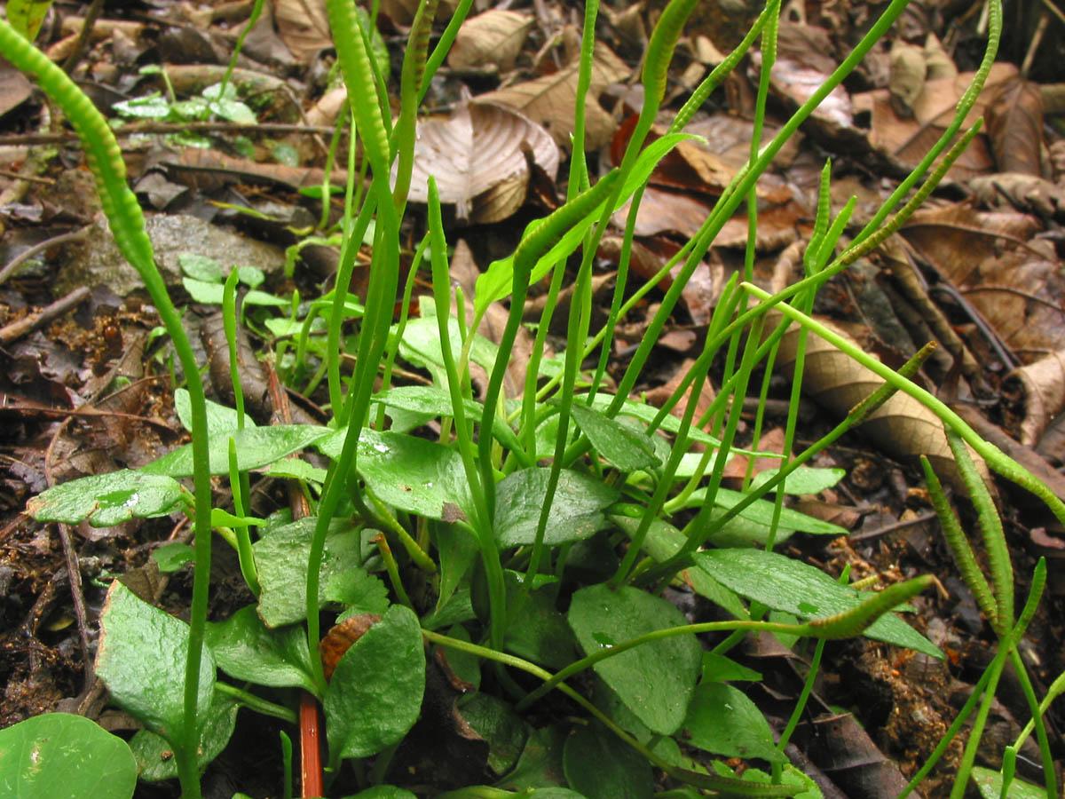 Ophioglossaceae Ophioglossum reticulatum