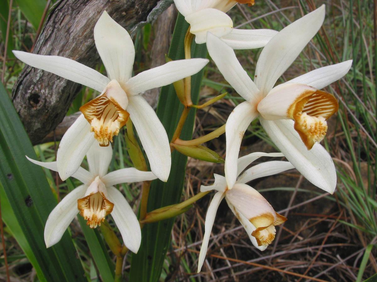 Orchidaceae Coelogyne palawanensis