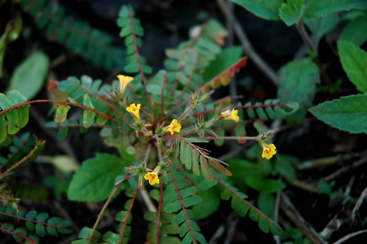 Biophytum dendroides (Oxalidaceae) image 16544 at