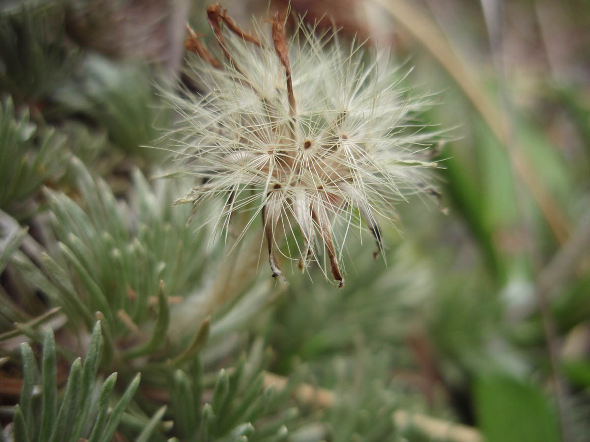 Celmisia sessiliflora (Asteraceae) image 52996 at