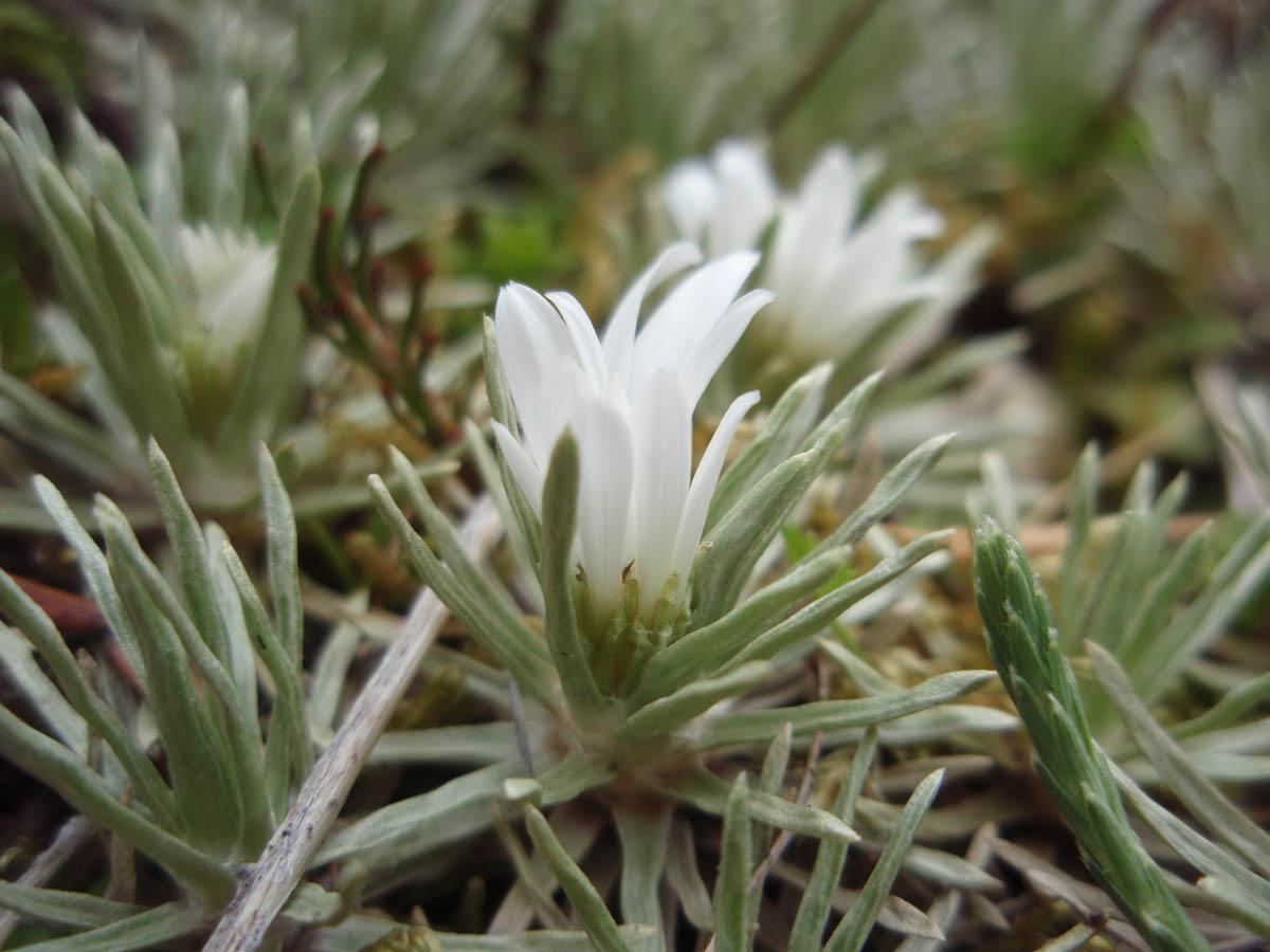 Celmisia sessiliflora (Asteraceae) image 19595 at