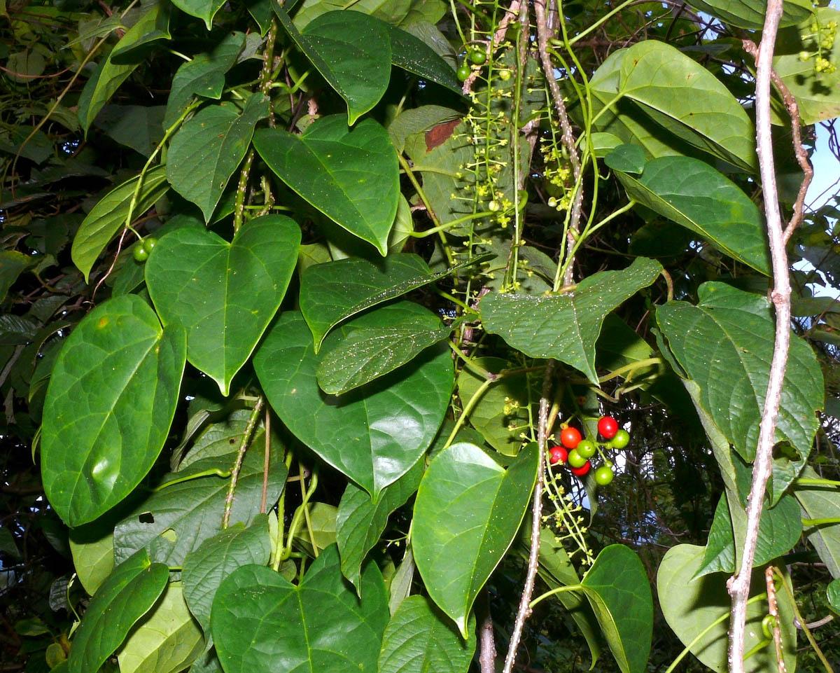 Menispermaceae Tinospora glabra